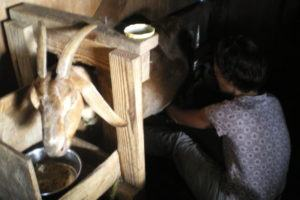 The Professional Hobo milking goats in Hawaii