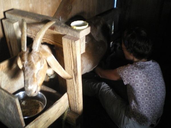 Singing Practice – I mean, Goat Milking