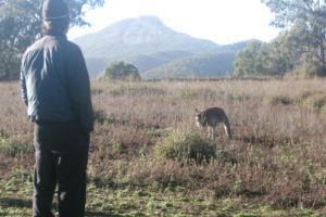 Warrumbungle National Park kangaroo spotting