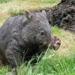 Poppy the Wombat