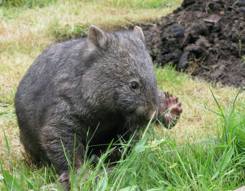 Playing With Poppy the Wombat