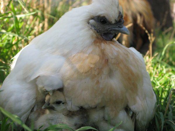 white chicken with chicks