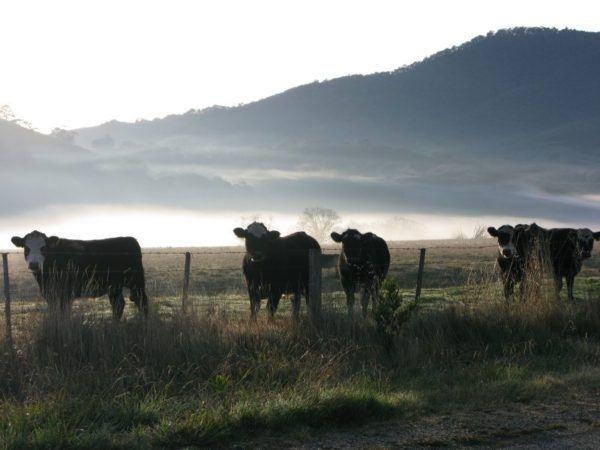 winter fog in Australia behind cows