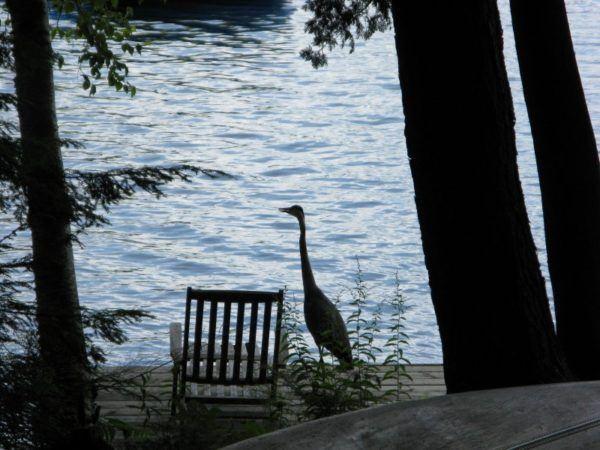 blue heron on a dock in Muskoka