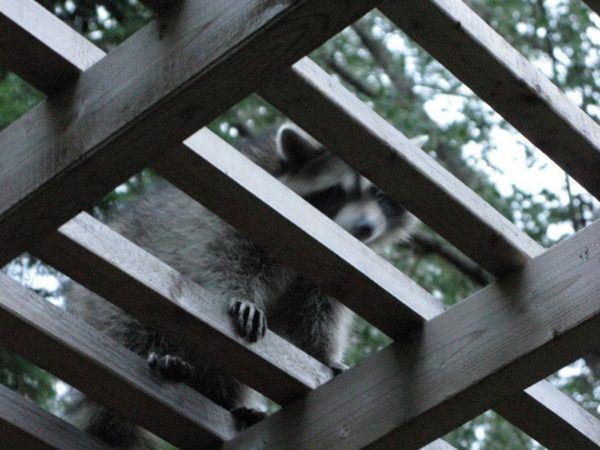 raccoon in Toronto back yard