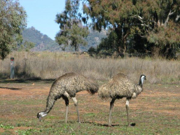 Emus - the fastest of all Australian birds