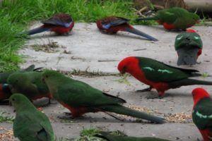 King Parrots in Australia