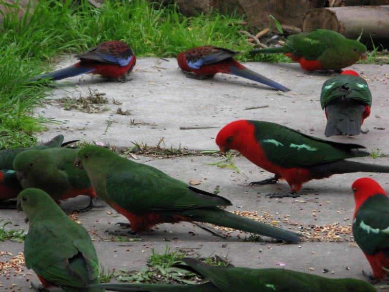 The Sounds of Australian Birds