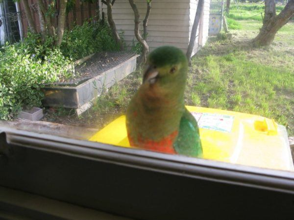 This king parrot is one of my fav Australian birds - he comes to my window to say hello every day!