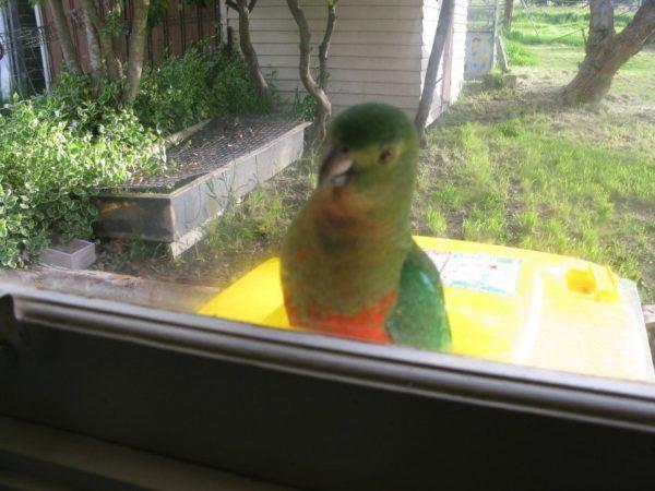 Parrot on the windowsill