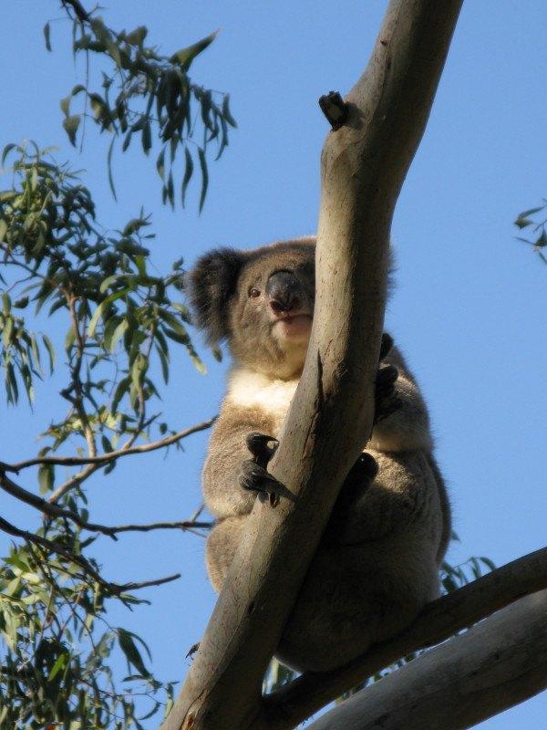 Camping with Koalas at Cape Otway