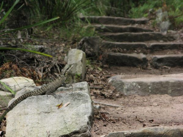 lizard on a rock beside Manly Scenic Walkway stairs
