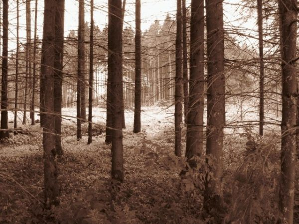 tall trees in the Black Forest