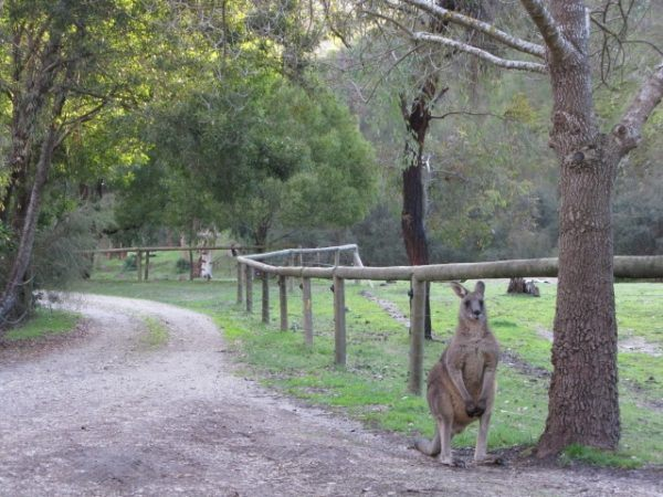 Kangaroo at Kingbilli estates in Victoria, Australia