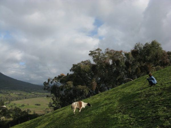 Llama wrangling in Australia