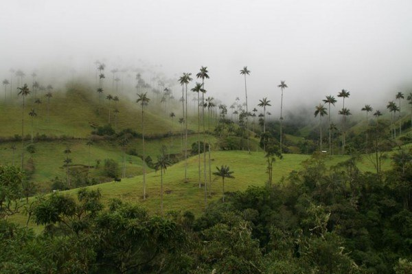 valle_cocora_palms
