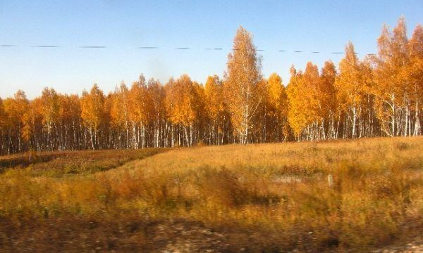 golden trees as seen from the Trans Manchurian train