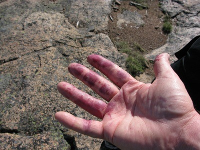 blue hands from picking berries in Sweden
