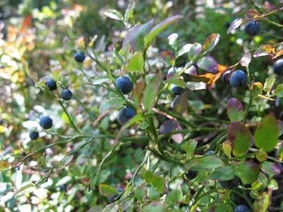 wild blueberries in northern Sweden