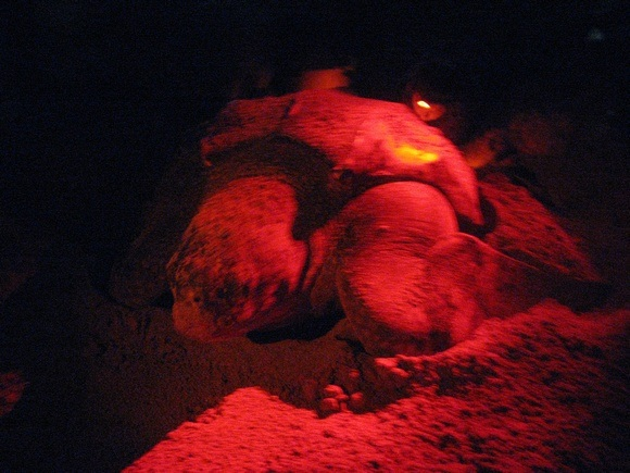 leatherback turtle laying eggs