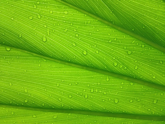 green broad leaf with water droplets