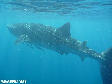 whale shark sized