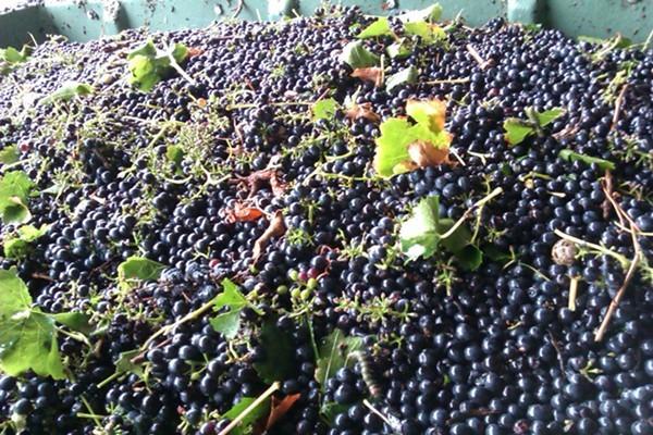 Grapes in a Bin