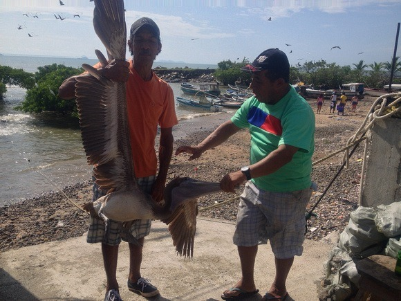 tagging a pelican in Panama
