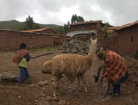 Peruvian woman cleaning off a newborn llama in peru