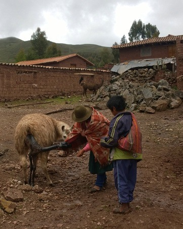 Peruvian mother and son birthing llamas!