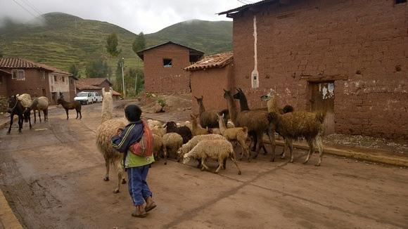 a herd of llamas walking through this Peruvian village
