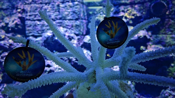 Coral Restoration foundation tabs hanging on coral in an aquarium in the Florida Keys