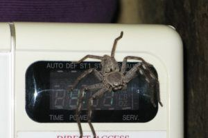huntsman spider on a microwave