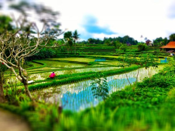 rice fields on the Campuhan Ridge Walk