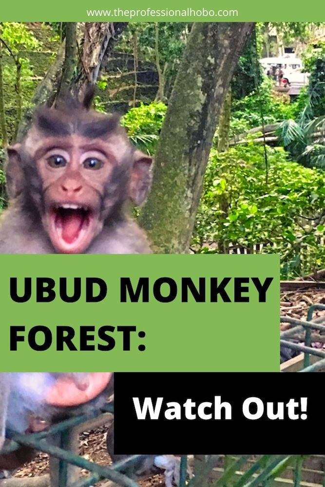 The Ubud Monkey Forest is a sanctuary for monkeys, with a path running beside it that I walk daily. People think I'm crazy! Here's why. #Bali #Indonesia #monkeys #MonkeyForest #Ubud #UbudMonkeyForest #TheProfessionalHobo