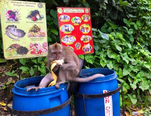 garbage picking monkey