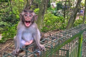 laughing monkey at the Ubud Monkey Forest