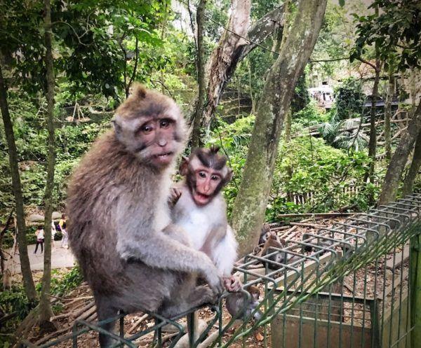 Monkey Forest mum and child