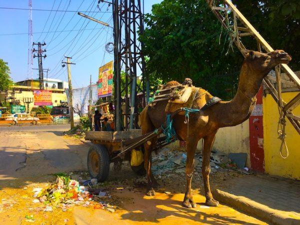 camel in Jaipur