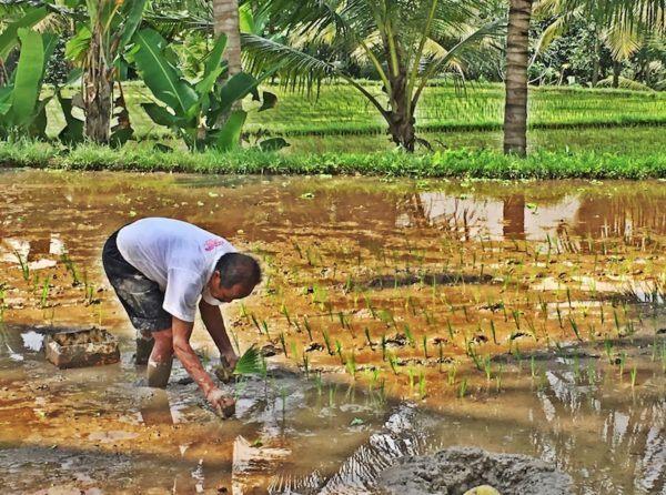 Ubud Mashup - planting rice