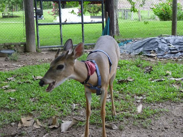 Pet-Sitting Punkin the deer